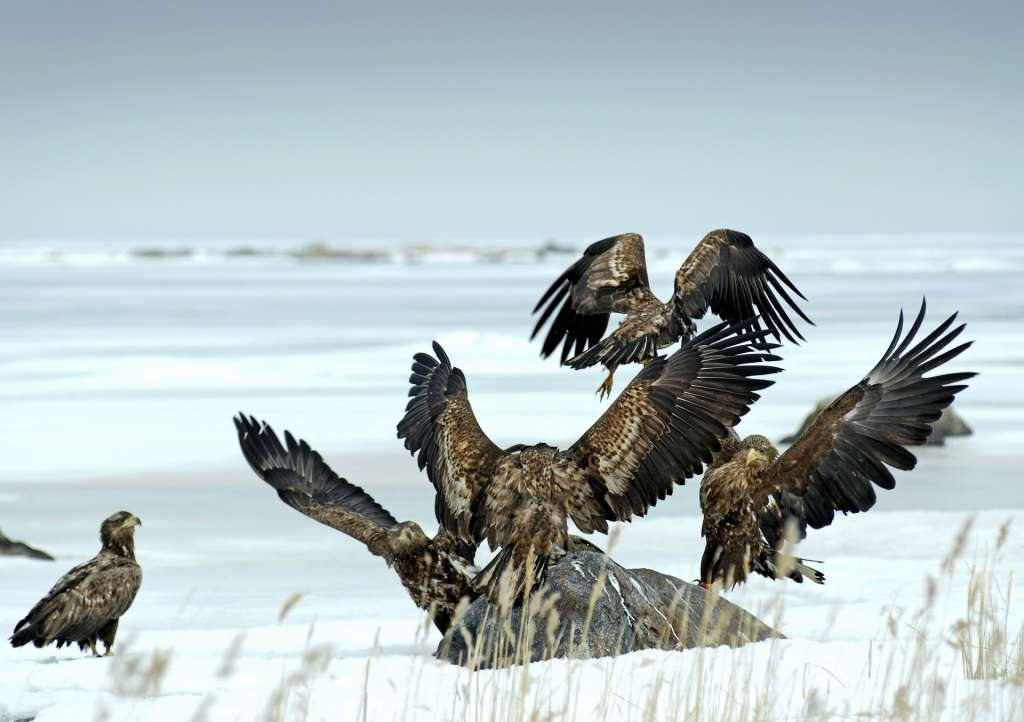 White-tailed eagle is the king of the Kvarken