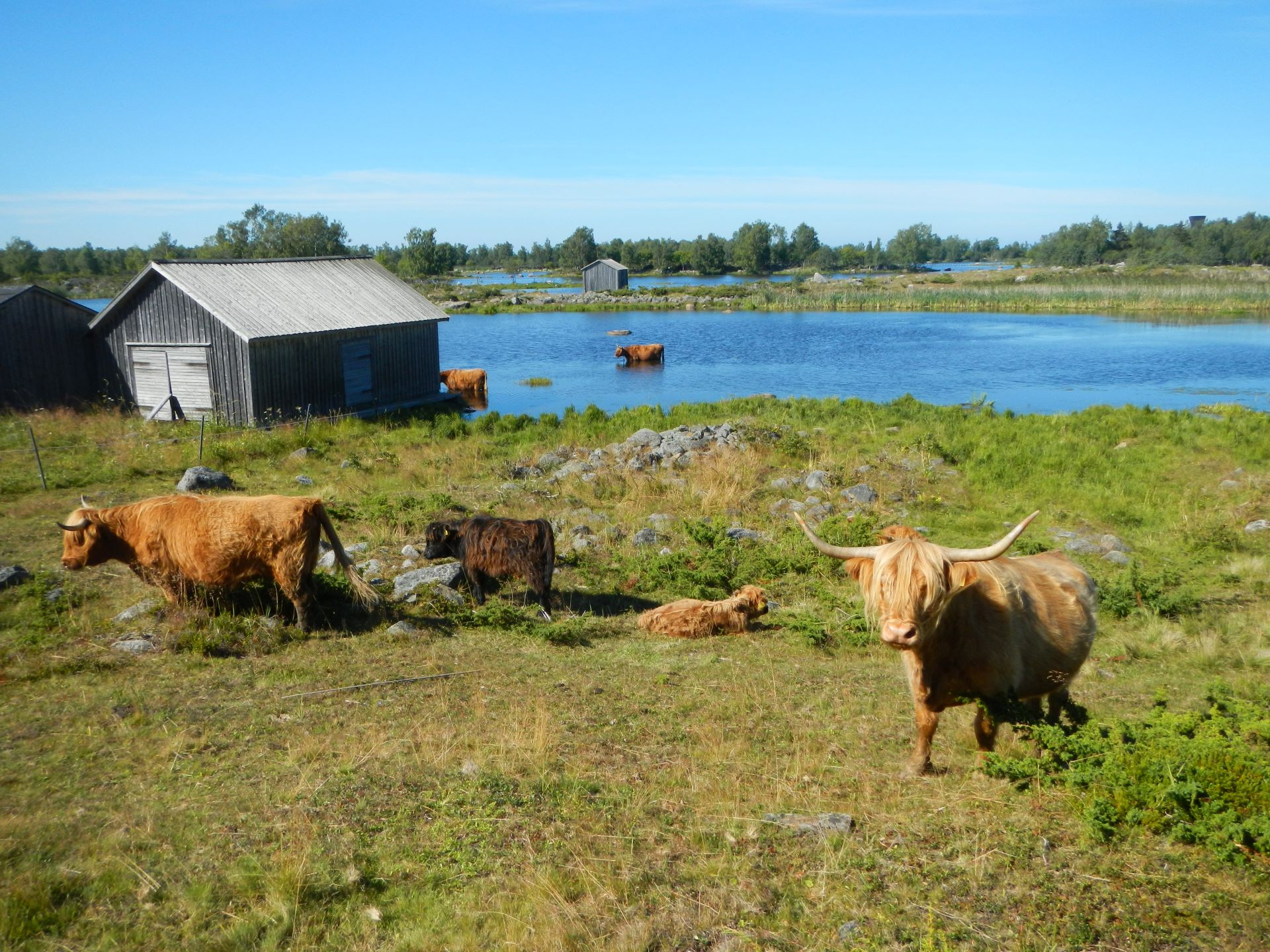 Highland cattle grazes along the Bodback's old harbour during the summer.