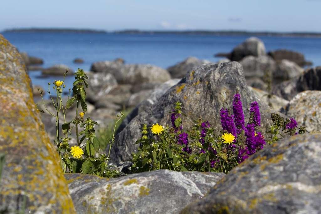 kukkia rantakivikossa