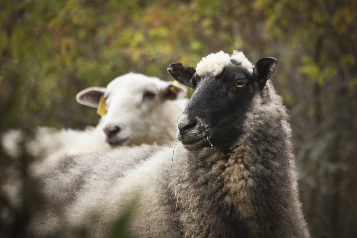 Lampaat hoitavat saariston perintömaisemaa.