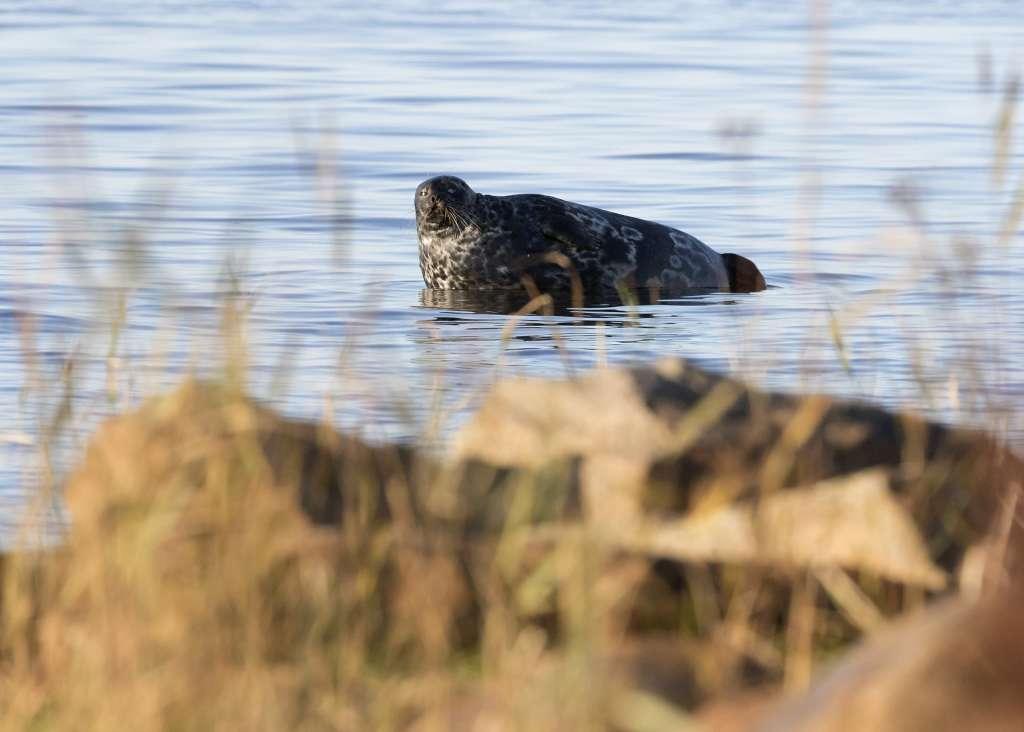 The endangered Baltic ringed seals live in the Kvarken Archipelago.