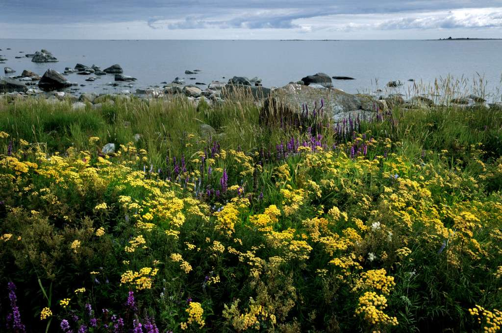 Strandängar är vackra och färgglada i den karg Kvarkens skärgård under sommaren.