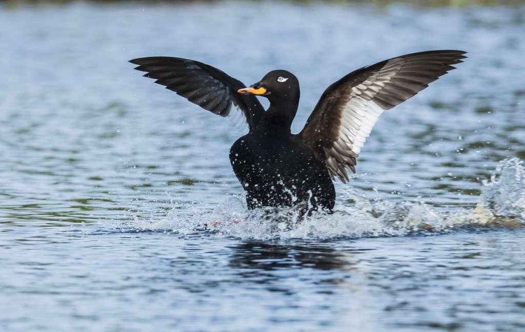 Velvet scoter landing into water.