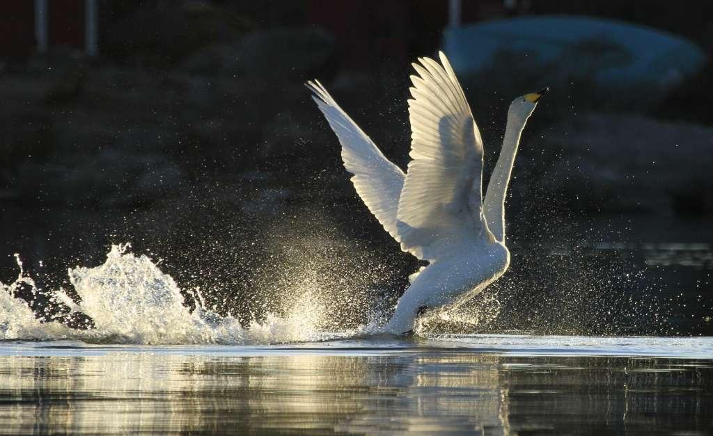 Joutsen lähdössä lentoon vedestä.