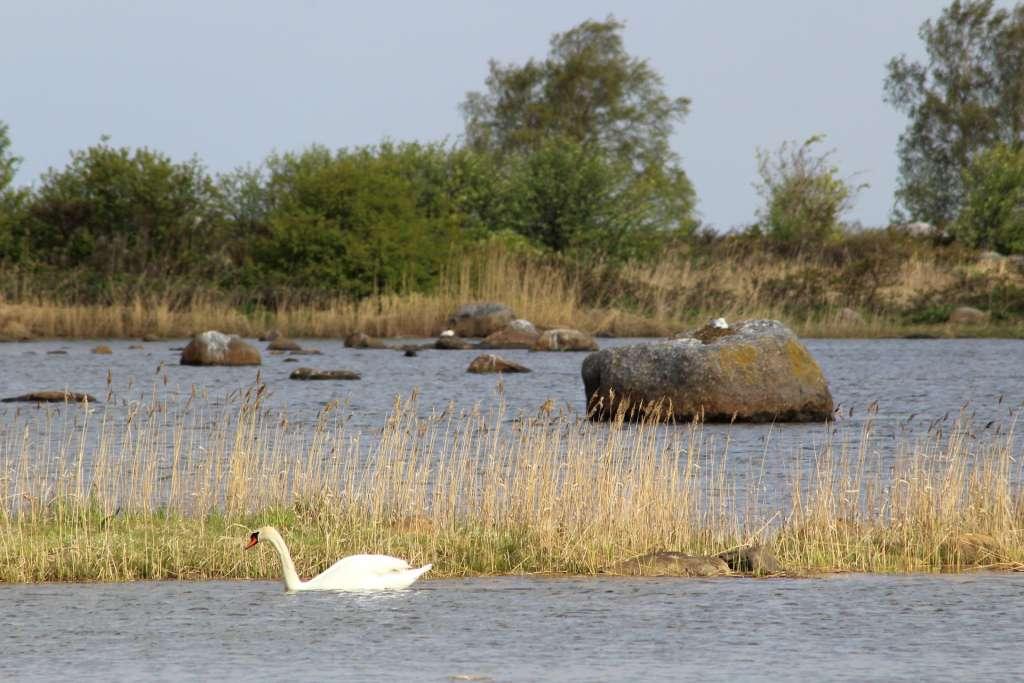 En svan simmar framför två De Geer-moräner på försommaren.