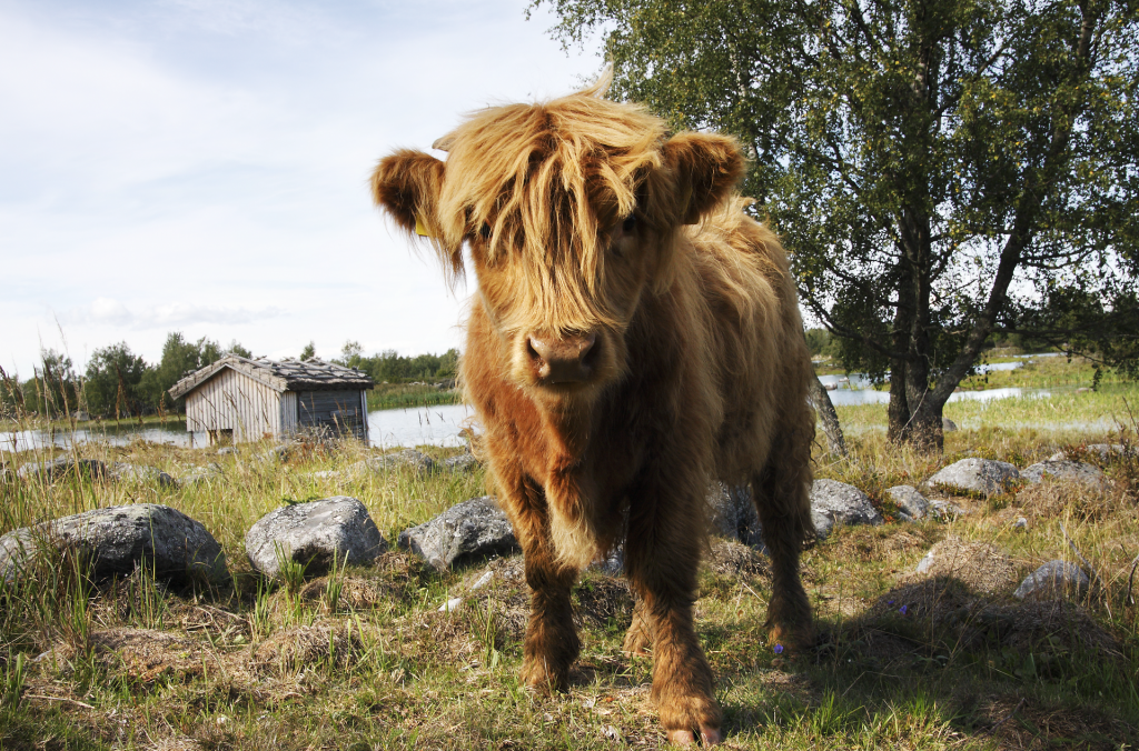 Highland cattle grazes and takes care of the cultural landscape of the Bodback's old harbour.