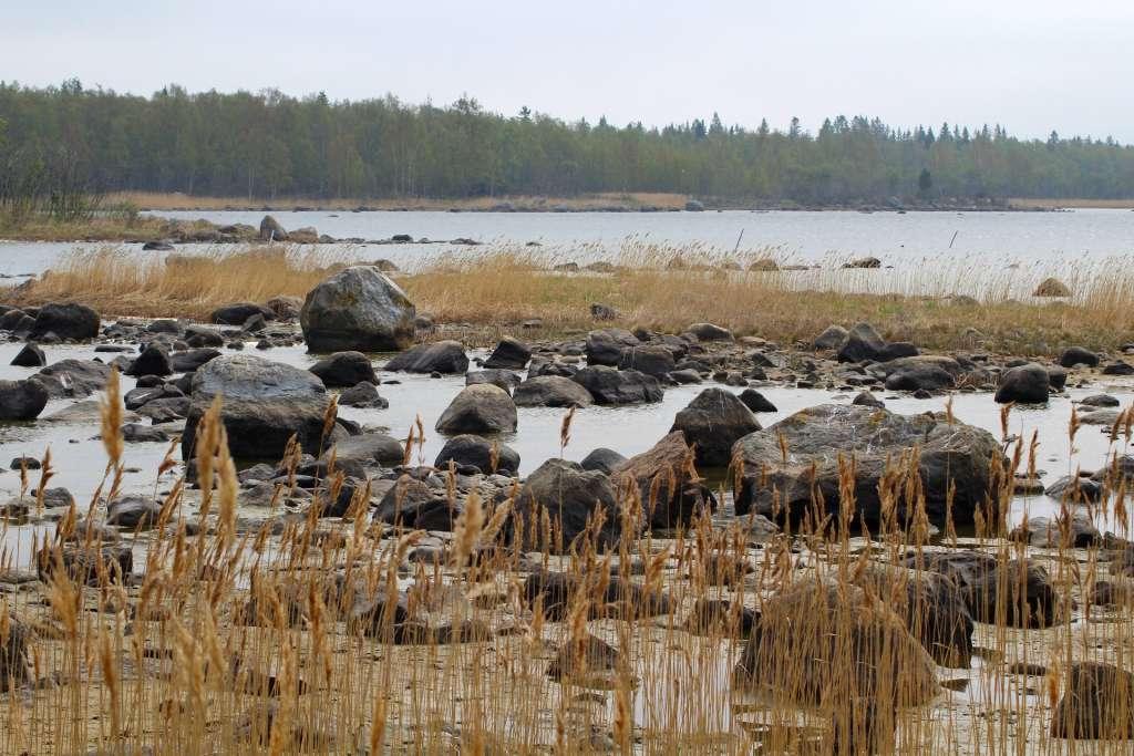 Stenar och vass i den grunda Kvarkens skärgård, och i bakgrunden finns ett bälte av skog.