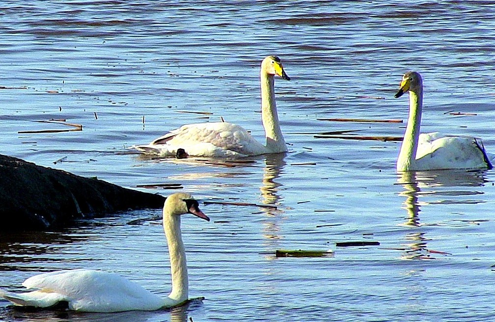 Swans Sundominlahti_Ilias Missyris