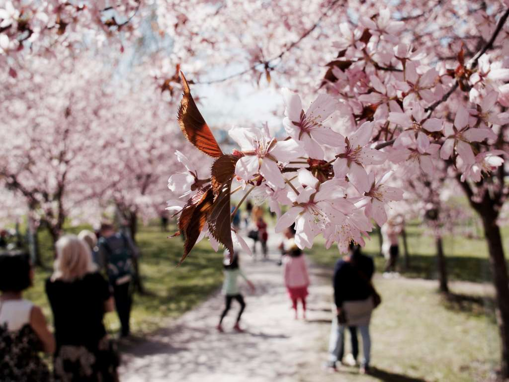 Kirsikkapuita puistossa