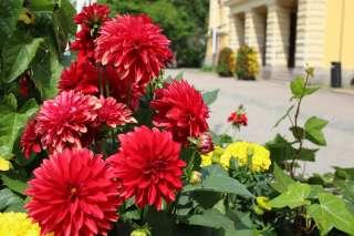 Punaisia ja keltaisia kukkia kaupungintalon edessä kukkaistutuksessa